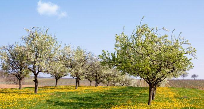 Posadzą 5 tysięcy drzew owocowych
