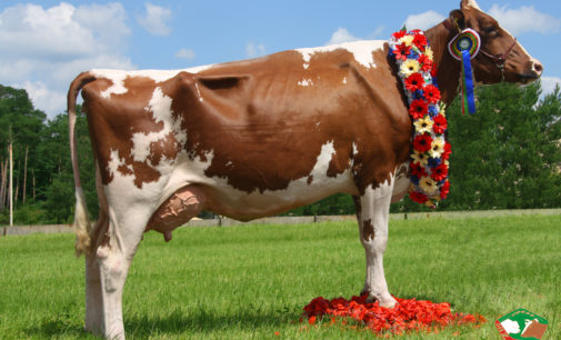 Krowa z Głogówka bohaterką zagranicznego artykułu